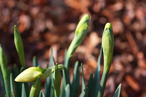 The Mystery of Daffodils