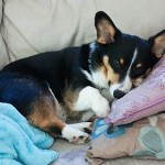 Bailey – The Pillow Loving Corgi